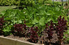 Beans and red leaf lettuce