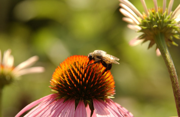 Bumblebee on purple coneflower (echinacea)