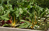 Chard in the maze garden