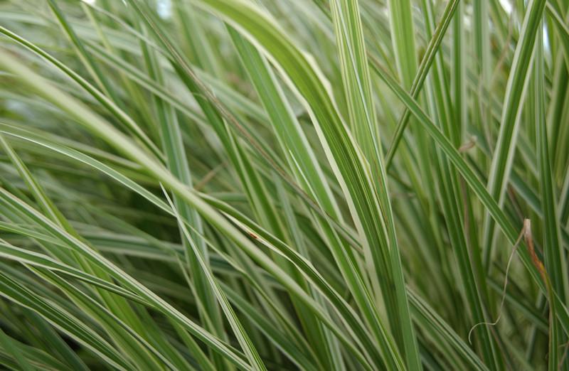 Grasses closeup