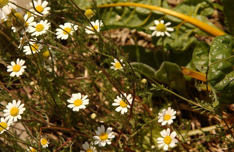 Companion planting -- chard & feverfew ?