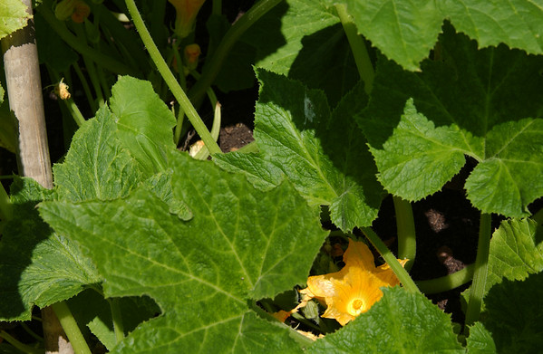 Squash in bloom
