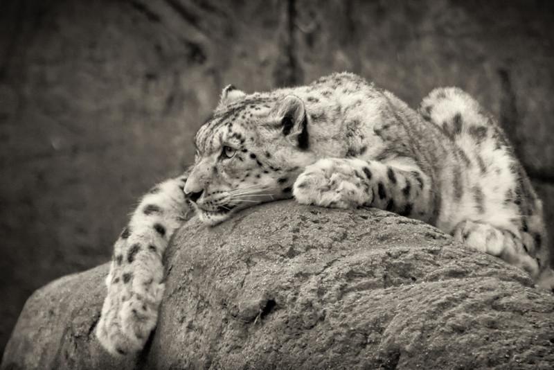 "Snow Leopard<br /> <br /> 20""x26"" Framed signed archival print<br /> $275"