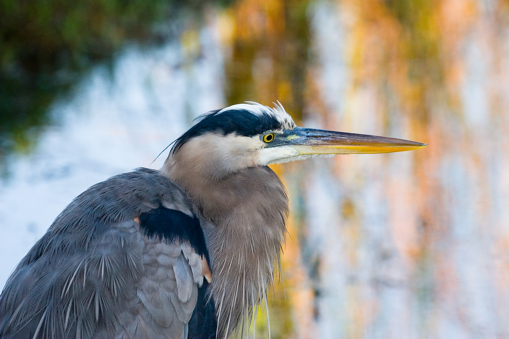 "Great Blue Heron #3<br /> 20""x26"" framed and signed archival print<br /> $275"