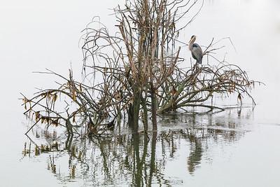 Marshland Elegance -Blue Heron