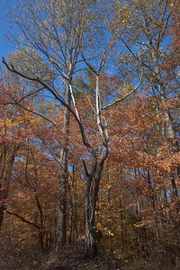 Dead tree faking autumn on the Buckeye trail