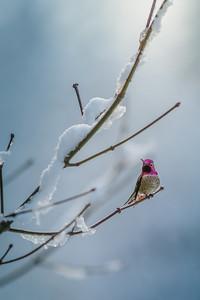 Garnet -Anna's Hummingbird