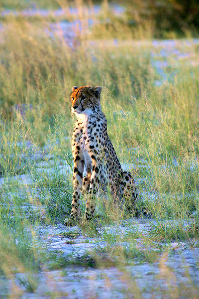 Cheetah at dawn