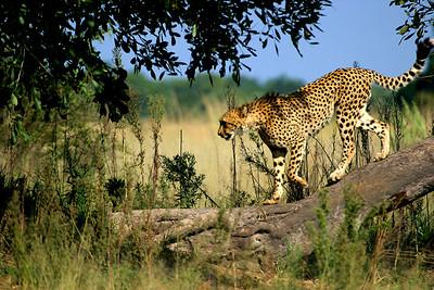 Cheetah on a Tree