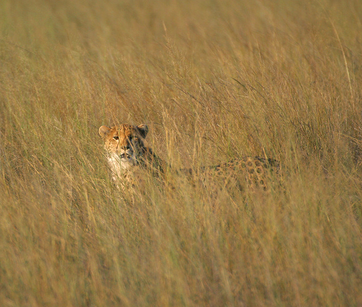 Cheetah hiding