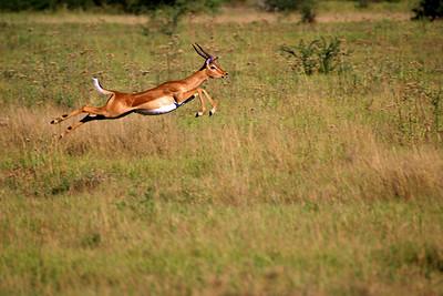 Impala Flight