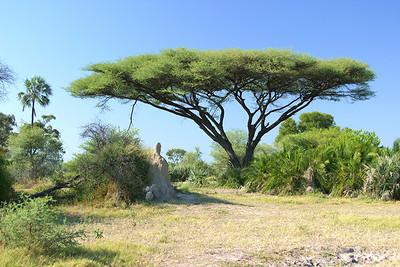 The Perfect Acacia Tree?