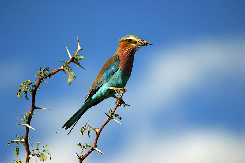 Lilac Brested Roller