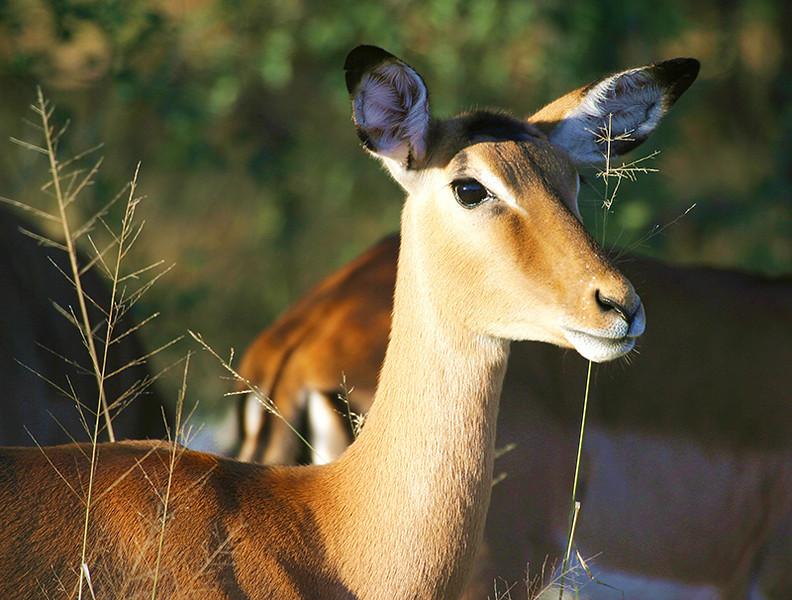 Impala at Dusk