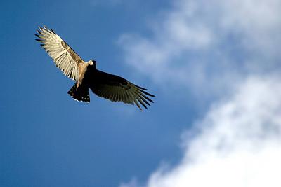 Sea Eagle Soaring