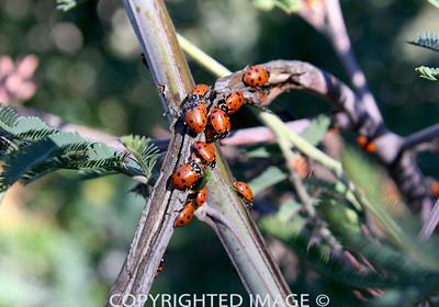 Arch Ladybugs