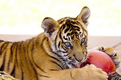 Tiger Cub (C) (Australia Zoo, Beerwah QLD)