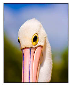 Pelican, Twin Waters.