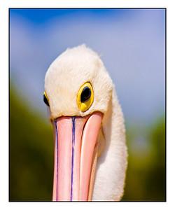 Pelican, Twin Waters.