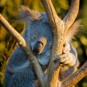 Koala (C), Lone Pine Koala Sanctuary