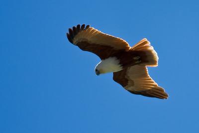 Brahminy Kite in flight (Haliastur indus)