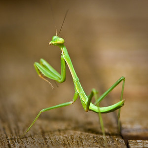 Juvenile Green Praying Mantids (Pseudomantis albofimbriata)