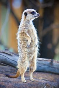 Meerkat (C),  Dubbo Zoo 2009.   (20090814-IMG_6850-2)