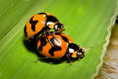 Ladybugs (probably both not ladies, not that there is anything wrong with that...)