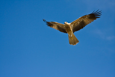 Whistling Kite (Haliastur sphenurus) Northern Territory