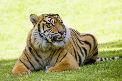 Tiger (C) (Australia Zoo, Beerwah QLD)