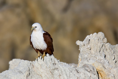 Brahminy Kite perched (Haliastur indus)