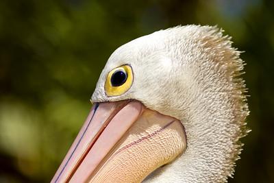 Pelican (Twin Waters Resort, QLD)