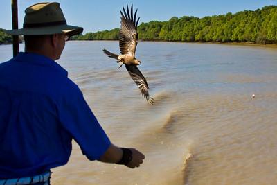Whistling Kite (Haliastur sphenurus) Northern Territory