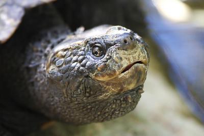 Tortoise (C)