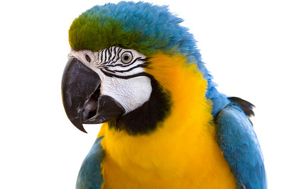 Macaw (C) (Australia Zoo, Beerwah QLD)
