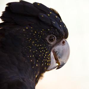 Glossy Black-Cockatoo (C) (Calyptorhynchus lathami)