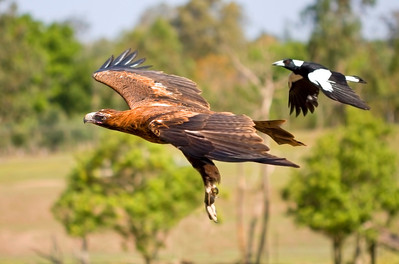 Wedge-tailed Eagle (C) being chased by magpie