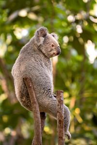Koala (C)