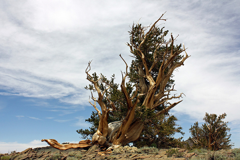 Bristlecone Pine; 11,000 feet, White Mountain Road, Inyo National Forest, California;<br /> <br /> This is an old bristlecone pine, many of which are over 4500 years old.  They began life before the pyramids were built, and are still vigorous today.  The next picture shows a closeup of the base of the tree from the other side, showing the work of soil erosion in shaping the tree.