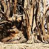 Detail of multiple trunk tree