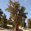 Bristlecone Pine: Patriarch Grove, Inyo National Forest, California<br /> <br /> The live and dead veins paint a beautiful pattern in this trunk
