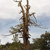 Bristlecone Pine; White Mountains, White Mountain Road, Inyo National Forest, California<br /> <br /> This tree appears to have been hit by lightning.  Almost the entire tree was killed, but one lifeline remains and that part is growing as strongly as if it was on a young, whole tree.