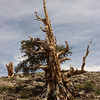 Bristlecone Pine; White Mountains, White Mountain Road, Inyo National Forest, California<br /> <br /> Soil erosion has killed the roots on the downhill side.  The next picture shows this in a closeup of the base.