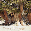 closeup of the Patriarch tree's multiple trunks