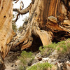 Close up of joined trees; Schulman Grove, Inyo National Forest, California (10,000 feet)<br /> <br /> The soil has eroded away under the roots of the upper, living, tree.  The lower, dead, trunk is supporting it and preventing it from falling down the hill.  The next picture has a view from the other side, which shows how the soil has completely eroded away.