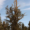 Bristlecone Pine: Patriarch Grove, Inyo National Forest, California<br /> <br /> The lack of undergrowth, due to the poor soil conditions, gives the bristlecones protection from fire.  Individual trees may be struck by lightning, but the forest will not burn.