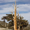 Bristlecone Pine: Patriarch Grove, Inyo National Forest, California<br /> <br /> A small flowering plant grows near this bristlecone, like an accent plant enhancing a bonsai.