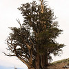 Bristlecone Pine; White Mountains, Schulman Grove, Inyo National Forest, California<br /> <br /> The bristlecones are segmented so that any damage only affects one part of the tree.  Here you can see where the main trunk has been killed, and a portion of the tree on the left, but the rest of the tree continues to grow as vigorously as ever.<br /> <br /> This tree shows the magnificent beauty of the bristlecone pine.