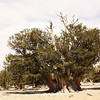 Patriarch tree; Patriarch Grove, Inyo National Forest, California<br /> <br /> The Patriarch Tree is the largest Bristlecone known. It has several trunks and is about 20 feet long and 38 feet around.  It had been thought to be multiple trees that had grown together, but modern DNA analysis shows it to be all one tree.<br /> <br /> Though this area is at a very high altitude, it is relatively protected and the trees grow very large.  They do not however live as long as those down in the harsher environment of the Schulman Gtove. The Patriarch Tree is only about 1500 years old.