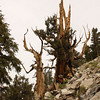 Bristlecone Pine; Schulman Grove, Inyo National Forest, California (10,000 feet)<br /> <br /> This might be two trees whose roots grew together long ago.  Bristlecones that grow near each other will merge roots and even trunks - sharing resources and increasing their ability to survive.  As the next closeup picture illustrates, the lower, dead portion is supporting the living tree above, keeping it from falling down the slope.